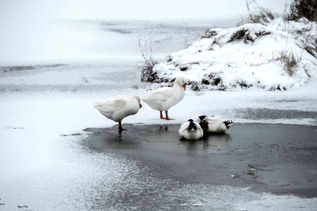 SHENNONGJIA, Jan. 13, 2017 - Photo taken on Jan. 12, 2017 shows geese at Dajiu Lake (nine lakes) national wetland park in Shennongjia, central China's Hubei Province. An environmental protection and ...