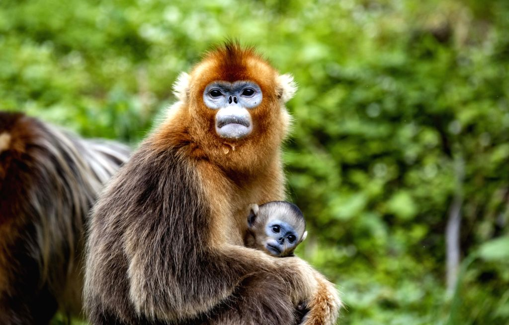 SHENNONGJIA, May 20, 2018 - Photo taken on May 20, 2018 shows a little golden monkey and its mother in the Shennongjia National Park in central China's Hubei Province. About 1,300 golden monkeys live ...