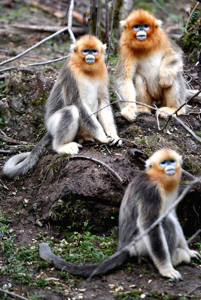 SHENNONGJIA, Sept. 30, 2016 - Snub-nosed monkeys look on at a research base in Shennongjia, central China's Hubei Province, Sept. 30, 2016. The latest consensus showed numbers of snub-nosed monkeys ...