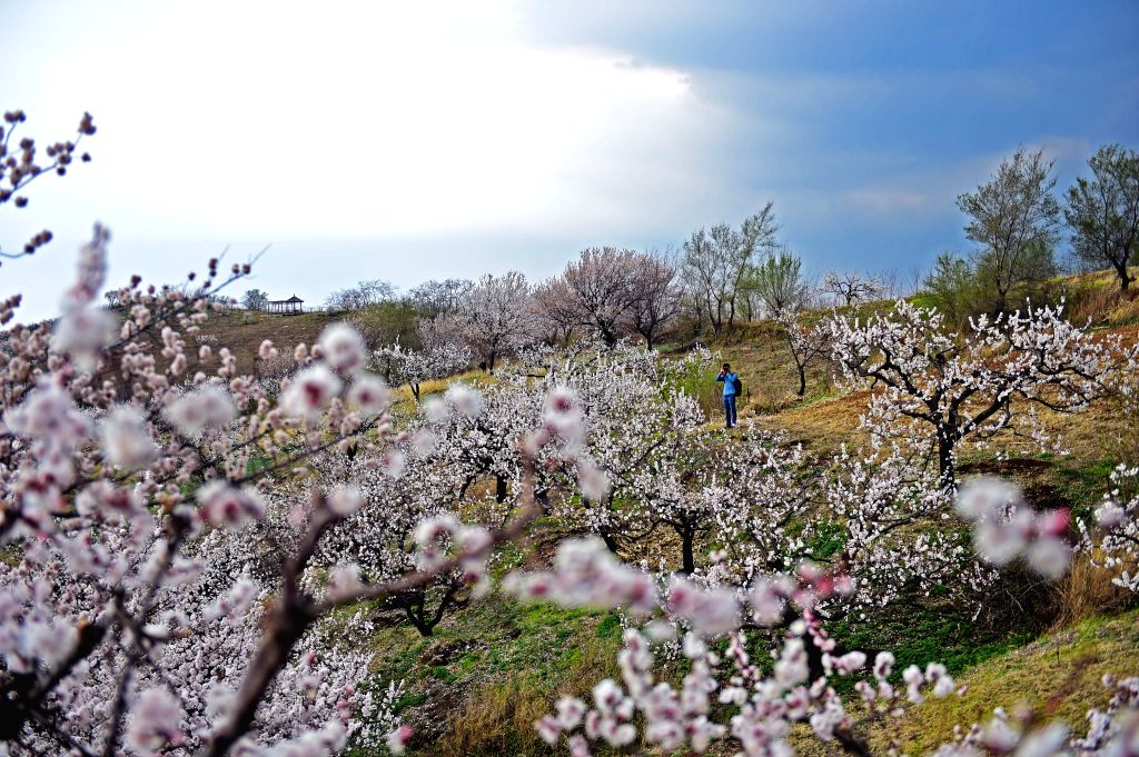 SHENYANG, April 19, 2016 - A tourist takes photos of  apricot flowers in Shadigou Village of Hunnan District in Shenyang City, capital of northeast China's Liaoning Province, April 18, 2016.