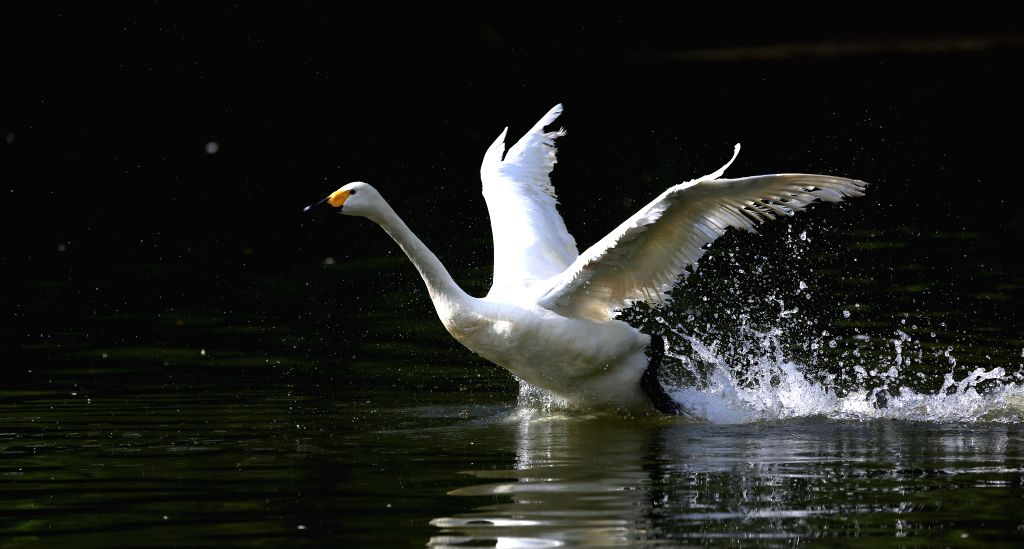 A swan prepares to fly from a lake at the Bird Islands Forestry Park in Shenyang, capital of northeast China's Liaoning Province, Aug. 13, 2014. (Xinhua/Yao ...