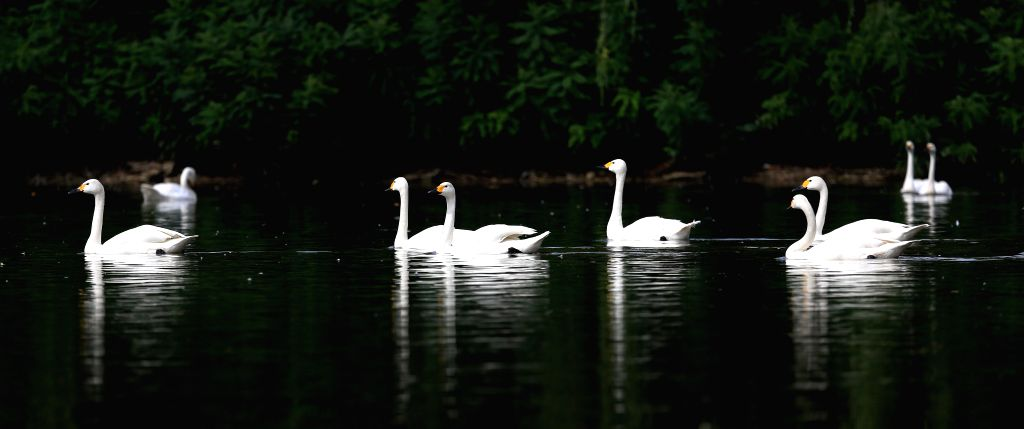 Swans swim on a lake at the Bird Islands Forestry Park in Shenyang, capital of northeast China's Liaoning Province, Aug. 13, 2014.