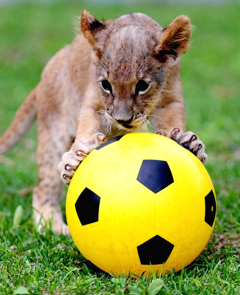 """A lion cub competes in a """"soccer game"""" at Guaipo Siberian Tiger Park in Shenyang, capital of northeast China's Liaoning Province, June 21, 2014. ..."""
