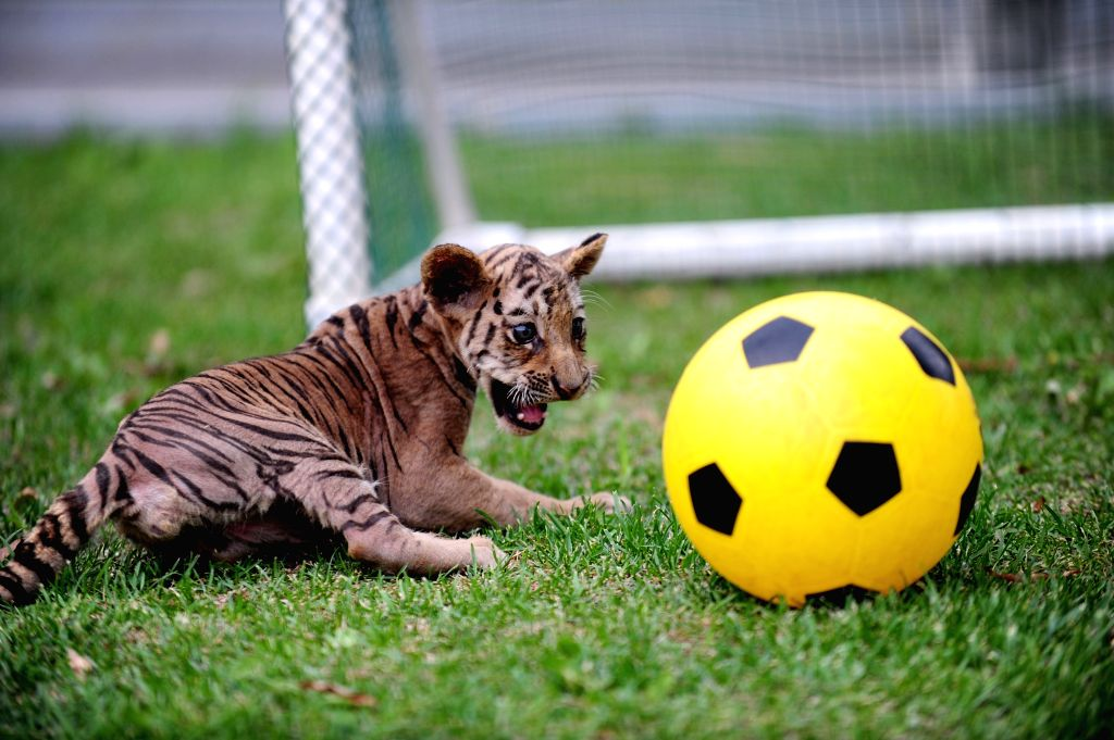 """A tiger cub competes in a """"soccer game"""" at Guaipo Siberian Tiger Park in Shenyang, capital of northeast China's Liaoning Province, June 21, 2014. ..."""