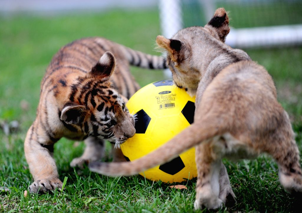 """Tiger and lion cubs compete in a """"soccer game"""" at Guaipo Siberian Tiger Park in Shenyang, capital of northeast China's Liaoning Province, June 21, 2014. ."""