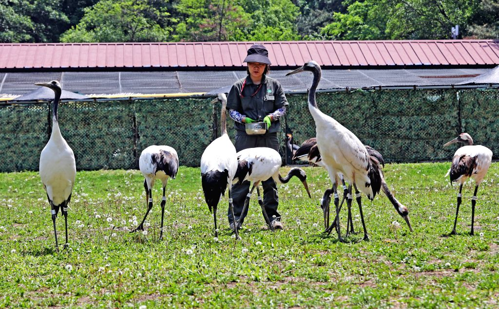 SHENYANG, June 4, 2019 - A breeder feeds red-crowned cranes at Shenyang Forest Zoological Garden in Shenyang, capital of northeast China's Liaoning Province, June 4, 2019.