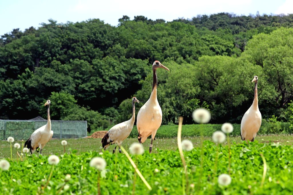 SHENYANG, June 4, 2019 - Red-crowned cranes are seen at Shenyang Forest Zoological Garden in Shenyang, capital of northeast China's Liaoning Province, June 4, 2019.