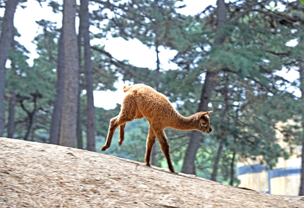 SHENYANG, June 6, 2019 - A baby alpaca runs in Shenyang Forest Zoological Garden in Shenyang, capital of northeast China's Liaoning Province, June 4, 2019. Newly-born animal cubs in Shenyang Forest ...
