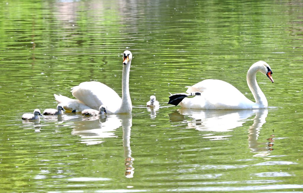 SHENYANG, June 6, 2019 - Mute swans swim in Shenyang Forest Zoological Garden in Shenyang, capital of northeast China's Liaoning Province, June 4, 2019. Newly-born animal cubs in Shenyang Forest ...