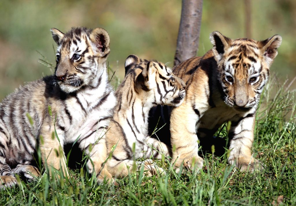Three Siberian tiger cubs, which were born 43 days ago, frolic at  Guaipo Siberian Tiger Park in Shenyang, capital of northeast China's Liaoning Province, Sept. 5,