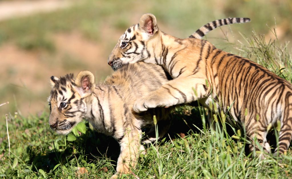 Two Siberian tiger cubs, which were born 43 days ago, frolic at  Guaipo Siberian Tiger Park in Shenyang, capital of northeast China's Liaoning Province, Sept. 5, ..