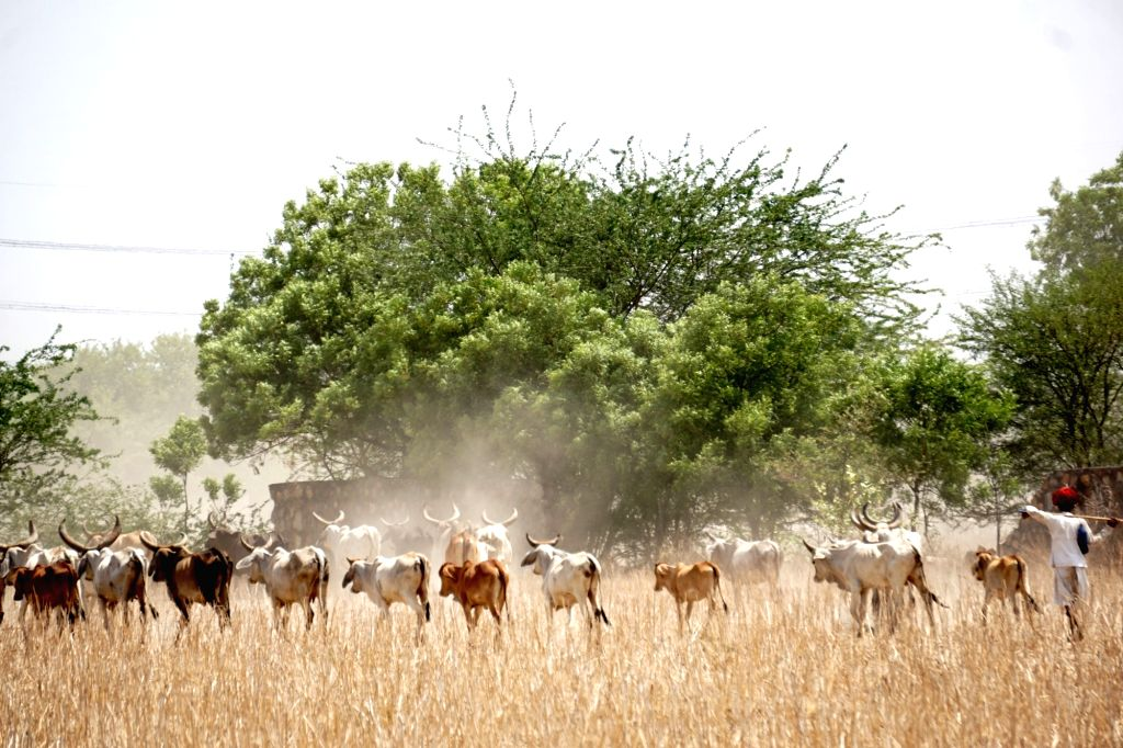 Shepherd from Rajasthan with his herd of cattle (mostly cows) in search of water in a village near Najafgarh in New Delhi on June 13, 2019.