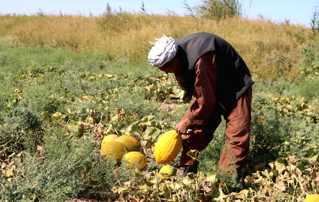 SHIBERGHAN, Aug. 28, 2019 - A farmer works in a melon field in Jawzjan province, northern Afghanistan, Aug. 27, 2019. The Afghan government has committed to investing in agricultural sector to create ...