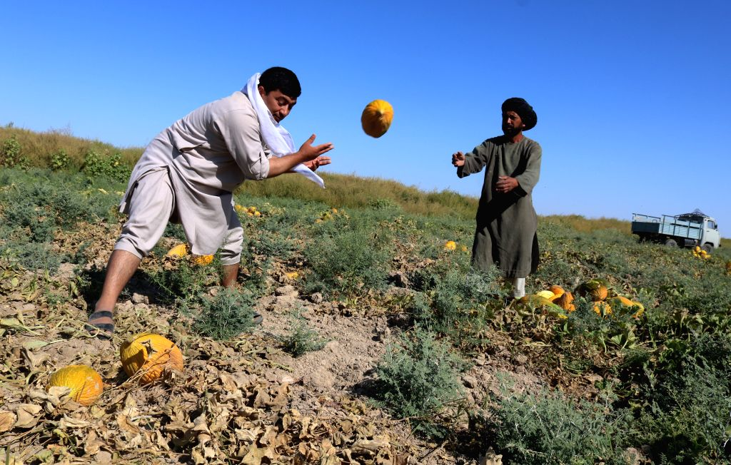 SHIBERGHAN, Aug. 28, 2019 - Farmers work in a melon field in Jawzjan province, northern Afghanistan, Aug. 27, 2019. The Afghan government has committed to investing in agricultural sector to create ...