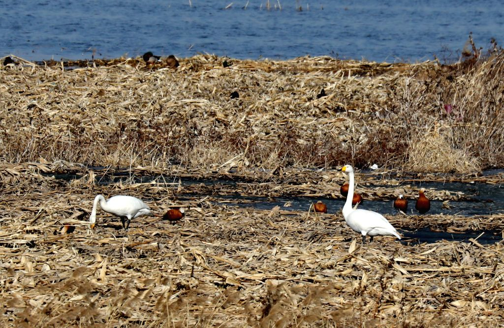 SHIJIAZHUANG, March 8, 2017 - Swans and wild ducks are seen at the wetland of Yanghe Reservoir in Zhangjiakou City, north China's Hebei Province, March 7, 2017.