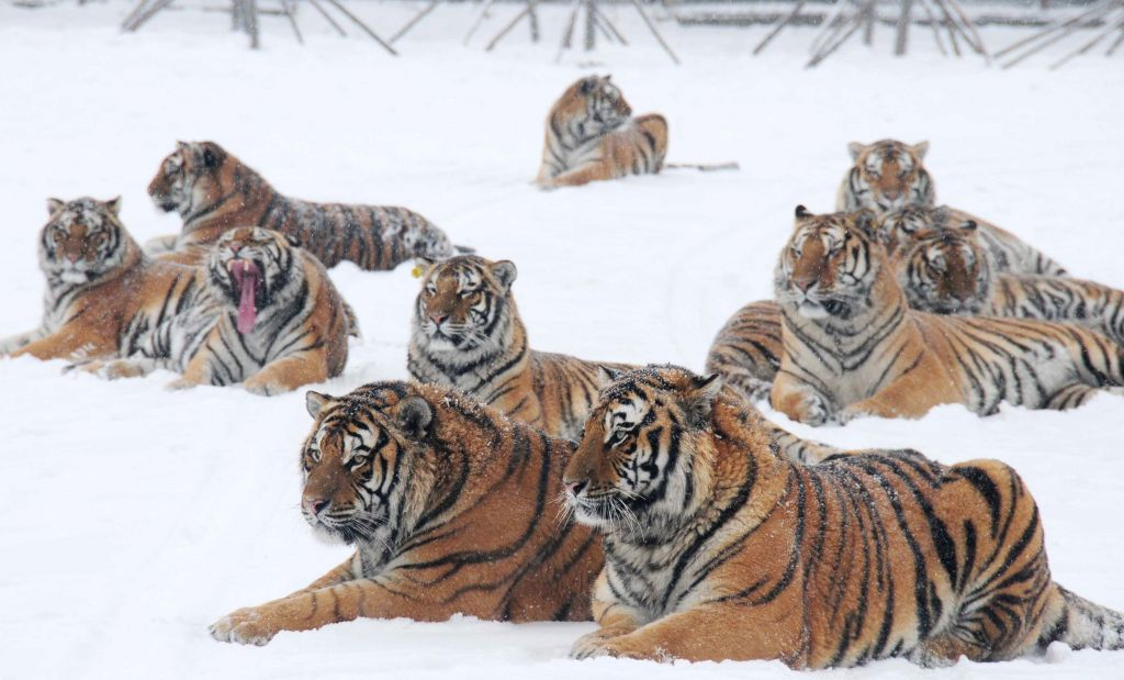 Siberian tigers take rest at the Siberian tiger zoo in Hailin, northeast China's Heilongjiang Province, Dec. 10, 2015. The facility, the world's largest Siberian ...