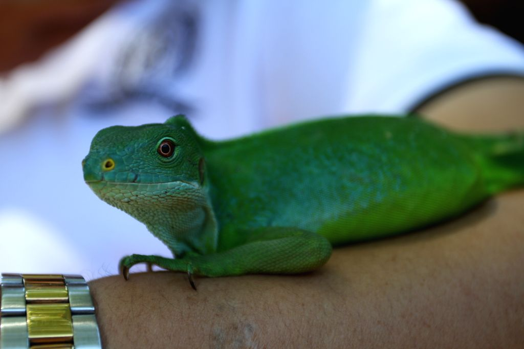 SIGATOKA (FIJI), April 18, 2014 A lizard is seen on the arm of a tourist at Kula Eco Park, near Sigatoka, Fiji, on April 18, 2014. Founded in 1997, Kula Eco Park, an 11-hectare property ..