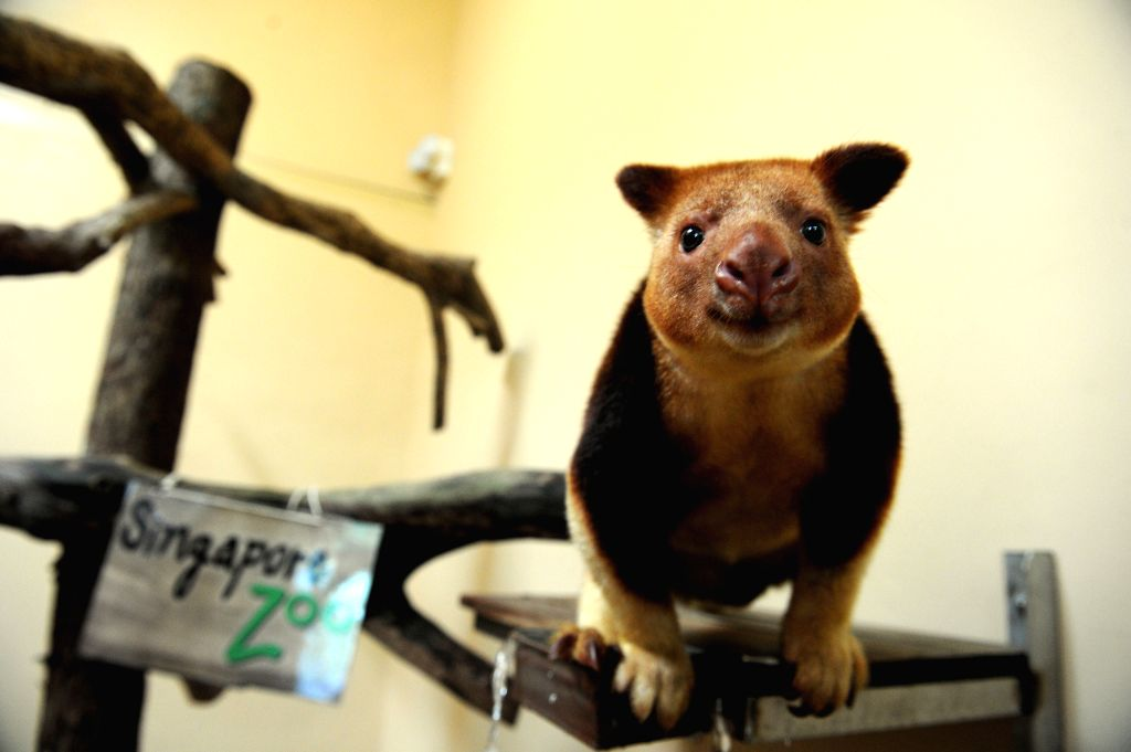 SINGAPORE, Aug. 3, 2016 - The 22-month-old male Goodfellow's tree-kangaroo Makaia looks on from a perch in its enclosure at the Singapore Zoo in Singapore, Aug. 3, 2016. Makaia, the first ...