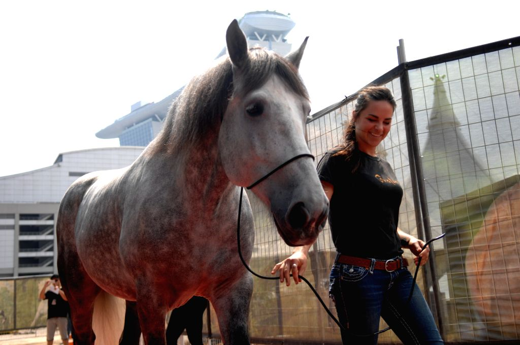 """A woman takes a horse of the show """"Cavalia"""" to meet media for the first time in Singapore, Aug. 4, 2014.  """"Cavalia"""" is to be shown on Aug. 12  ."""