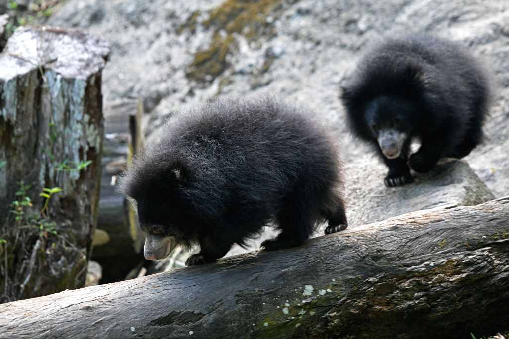 SINGAPORE, Feb. 22, 2019 - Two sloth bear babies are seen at the Singapore Night Safari on Feb. 22, 2019. The animals under the care of the Wildlife Reserves Singapore (WRS) gave birth to over 700 ...