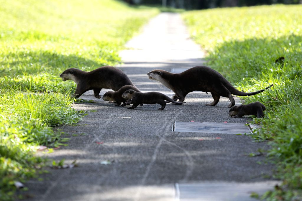 SINGAPORE, Jan. 10, 2019 - A family of smooth-coated otters make their way to a canal to practise swimming near Singapore River on Jan. 10, 2019. This family of smooth-coated otters, comprising of ...