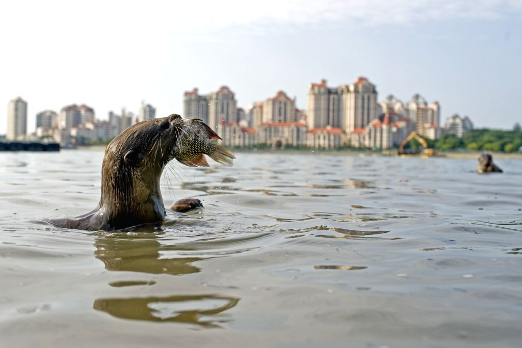 "SINGAPORE, July 1, 2016 - Photo taken on July 1, 2016 shows a member of a wild otter family called ""Bishan10"" in Singapore's Kallang Basin area. The size of this wild otter family has ..."