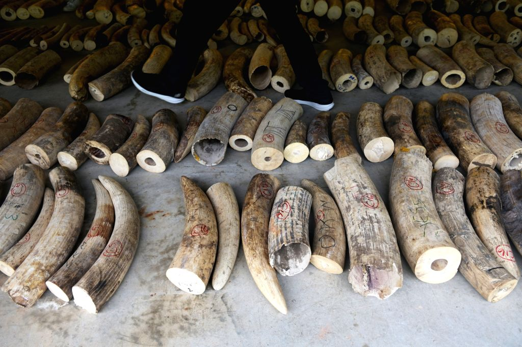 SINGAPORE, July 23, 2019 - Photo shows the seized elephant ivory in Singapore on July 23, 2019. In the joint statement issued by Singapore's National Parks Board (NParks), Singapore Customs and the ...