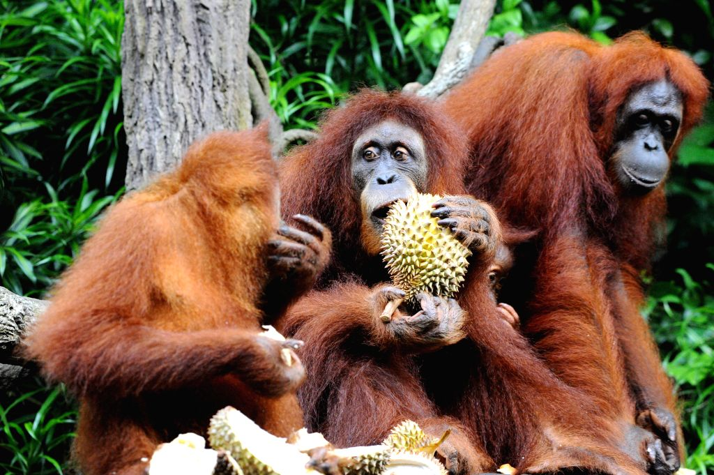 SINGAPORE, Jun. 27, 2017 - Orangutans eat durians during the Singapore Zoo's 44th anniversary celebration party in Singapore, on June 27, 2017.