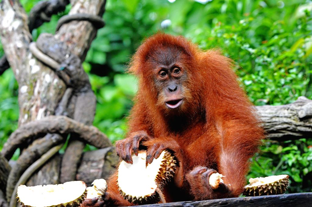 """SINGAPORE, Jun. 27, 2017 - Singapore Zoo's icon orangutan """"Ah Meng"""" eats durians during the Singapore Zoo's 44th anniversary celebration party in Singapore, on June 27, 2017."""