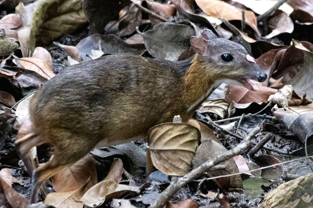 SINGAPORE, March 11, 2019 - A rare mouse deer (tragulus kanchil) is spotted foraging in the forest at the central catchment area in Singapore, March 11, 2019.