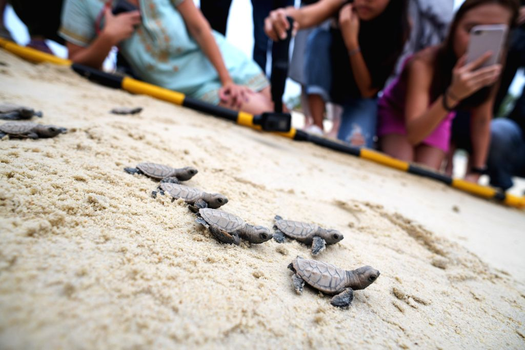 SINGAPORE, Sept. 4, 2019 - Newborn Hawksbill sea turtle hatchlings that hatched less than 10 hours ago make their way to the sea on the beach of Singapore's Sentosa Island on Sept. 4, 2019. Staff of ...