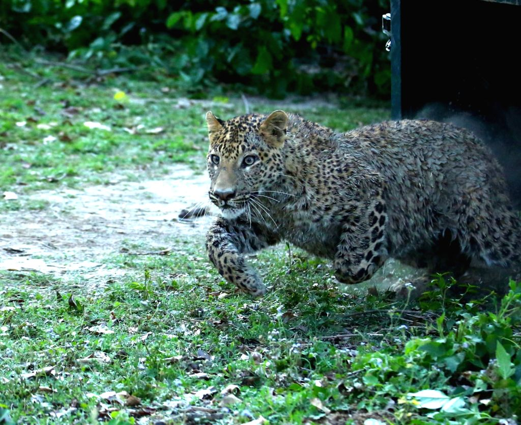 Six persons, including a forest guard were injured in a leopard attack at Durgagaudi village, under the Katarniaghat forest range here, Forest Department officials said on Friday.