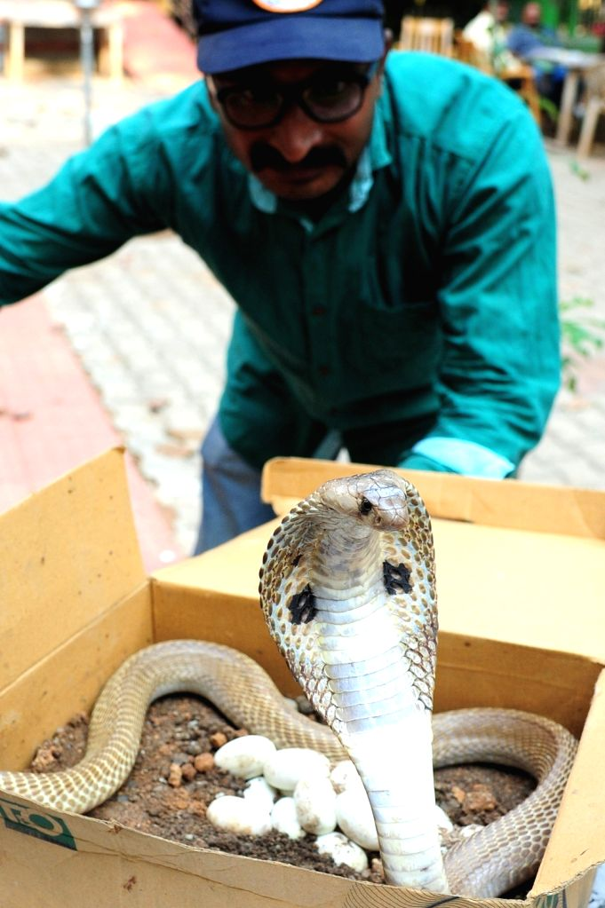 Snake rescuer Mohan K rescues Indian spectacled cobra along with its 17 eggs from Bengaluru City railway station on April 5, 2018.