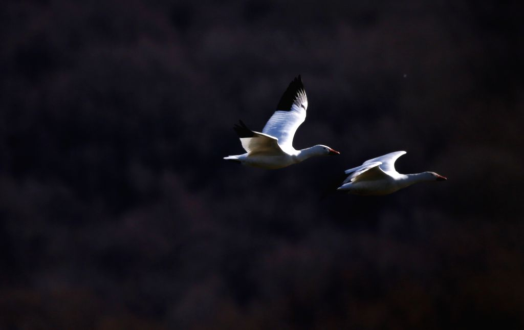 Snow geese are seen at the Middle Creek Wildlife Management Area in Lancaster County, Pennsylvania, the United States, on Feb. 22, 2020. Thousands of bird viewers ...