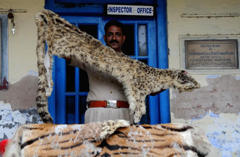 Society for the Prevention of Cruelty to Animals Inspector Ashok Joshi shows animal hides recovered from Amritsar on June 30, 2016. - Inspector Ashok Joshi