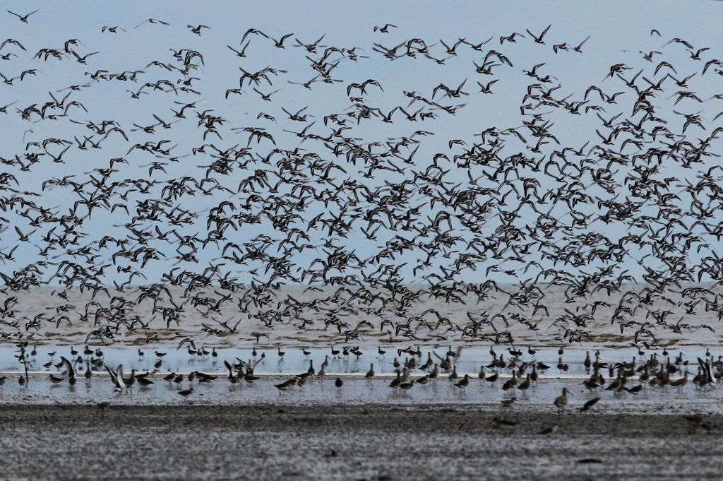 SOUTH SUMATRA, Nov. 28, 2016 - Thousands of birds from Siberia migrate annually to the Sembilang National Park, Banyuasin, South Sumatra, Indonesia, Nov. 27, 2016. Around 25 to 27 species of shore ...