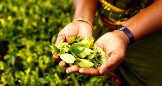 Sri Lanka donated Ceylon Black Tea to China