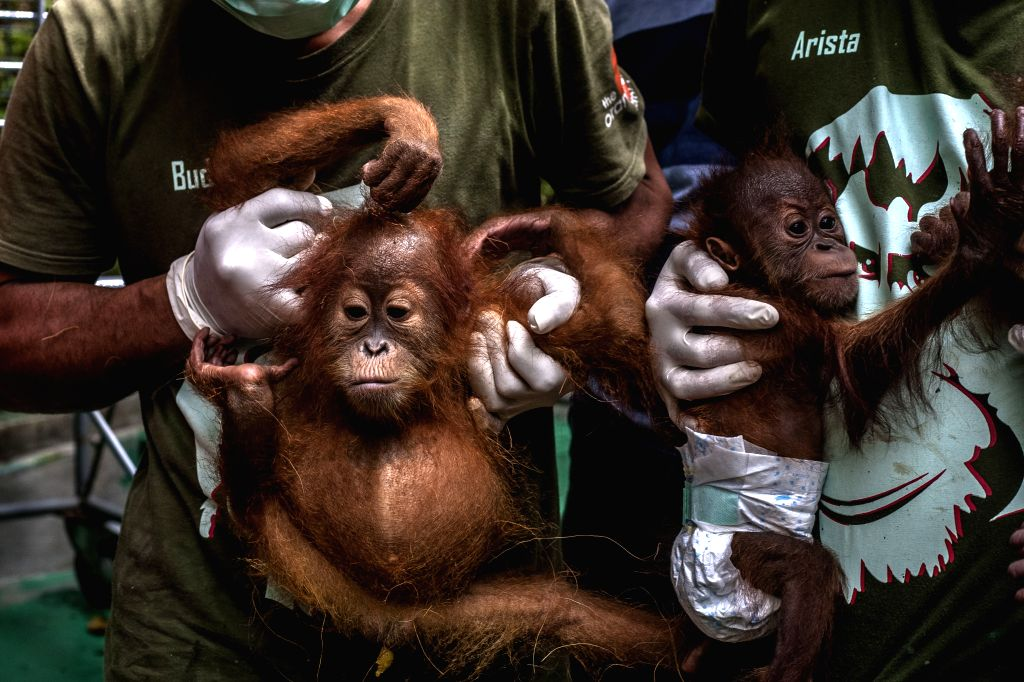 Staff carry baby orangutans during their arrival at the Sumatran Orangutan Conservation Programme quarantine in Deliserdang, North Sumatra, Indonesia, Nov. ...