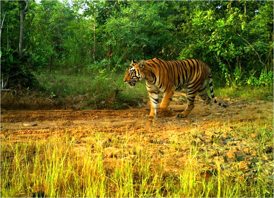 Steady increase in number of tigers in Telangana
