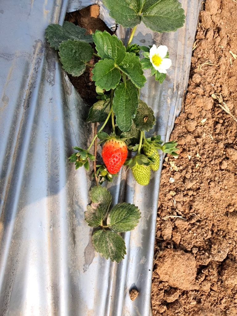 Strawberry farming is writing a new story in Jhansi.