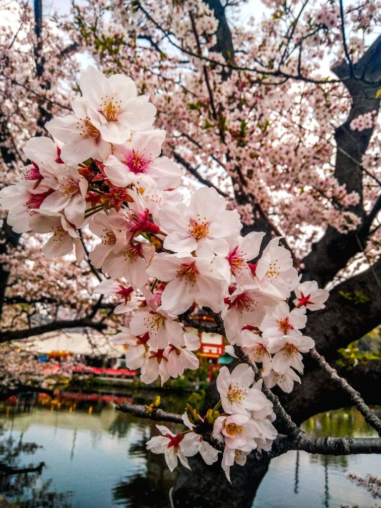 """Stunning Colours of Nature In Sakura"" by Ajay Kumar Airan. (Photo Source: Japan Foundation) - Ajay Kumar Airan"
