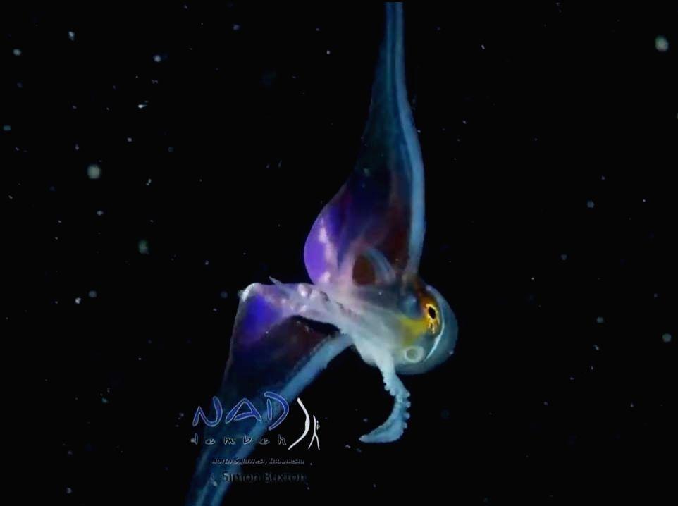Stunning, rainbow-colored 'Blanket Octopus' impress Netizens.
