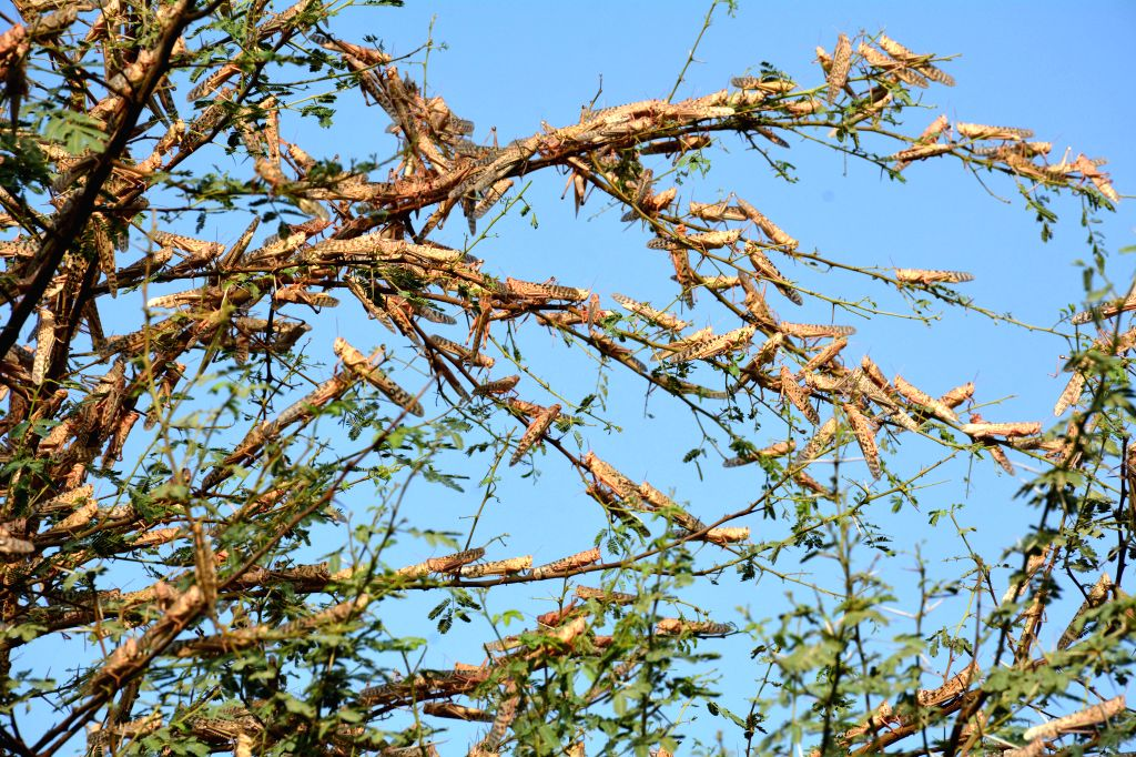 Sukkur (Pakistan), July 2, 2020 Locusts are seen on a tree on the outskirts of Sukkur, southern Pakistan, on July 1, 2020. According to the country's Ministry of National Food Security ...