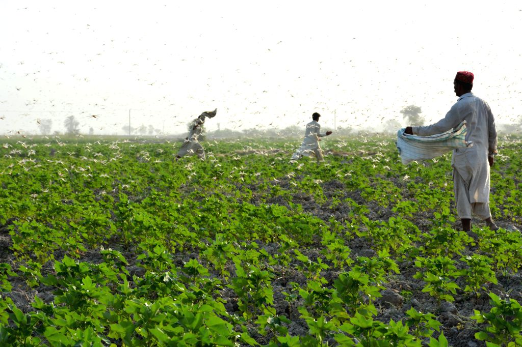 Sukkur (Pakistan), July 2, 2020 Pakistani farmers are surrounded by swarms of locusts on the outskirts of Sukkur, southern Pakistan, on July 1, 2020. According to the country's Ministry ...