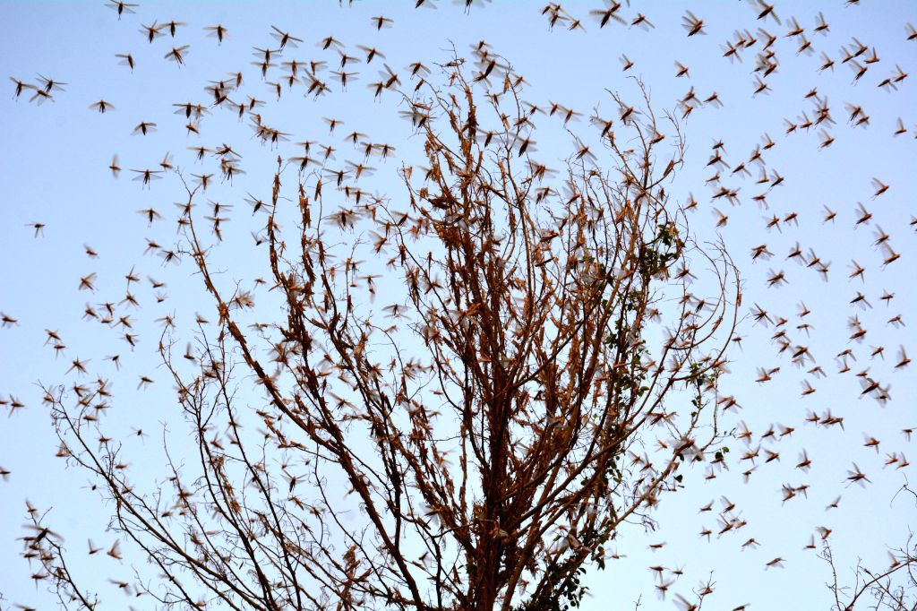 Sukkur (Pakistan), July 2, 2020 Swarms of locusts are seen on the outskirts of Sukkur, southern Pakistan, on July 1, 2020. According to the country's Ministry of National Food Security ...