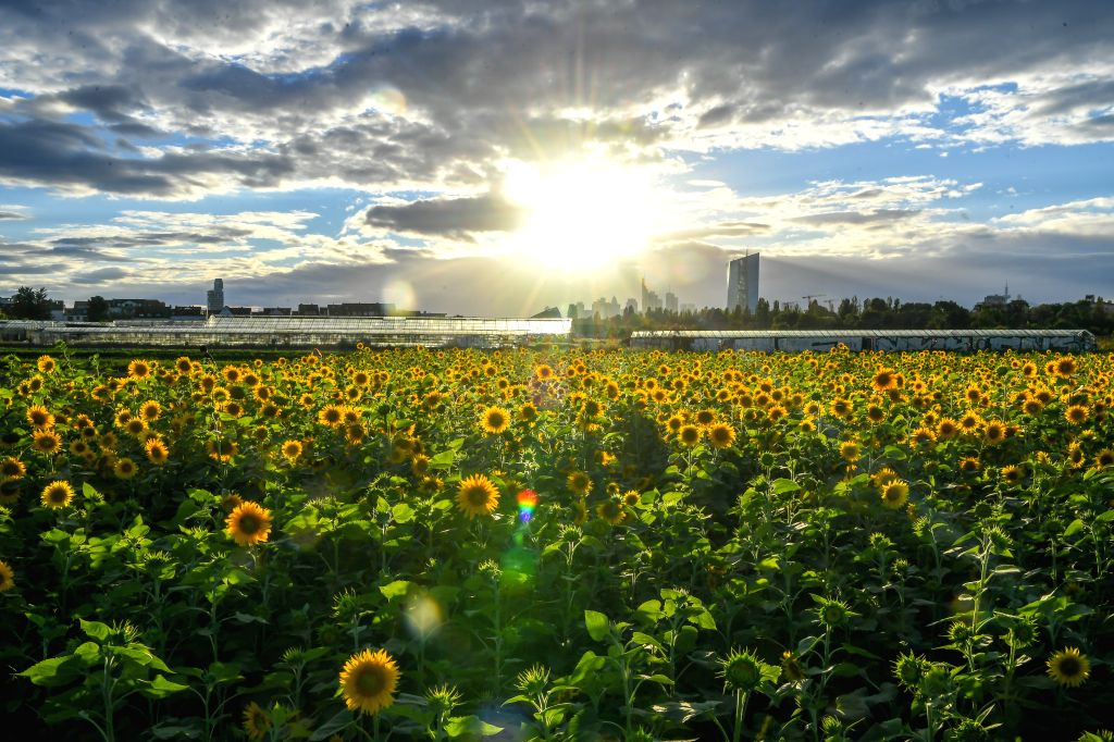 Sunflowers bloom in a field at a rural area in Frankfurt, Germany, on Aug. 23, 2020.