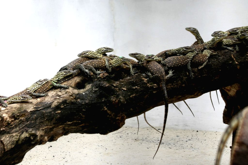 SURABAYA, March 7, 2019 - Newborn Komodo dragons are seen in the cage in Surabaya Zoo, Surabaya, East Java, Indonesia, on March 7, 2019. 74 baby Komodo dragons were born from January to February of ...