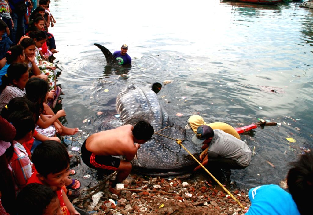 SURABAYA, May 30, 2017 - People try to evacuate the body of a whale shark stranded at Kroman Port in Gresik, Surabaya, Indonesia, May 30, 2017.