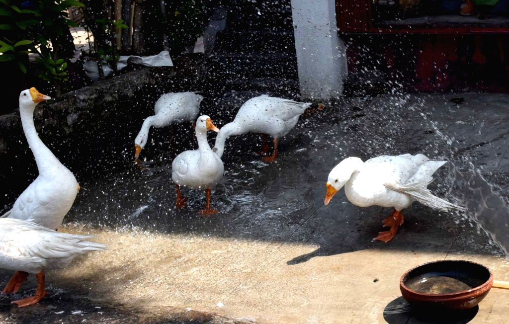 Swans enjoy themselves in water on a hot sunny day, in Patna on May 30, 2019.