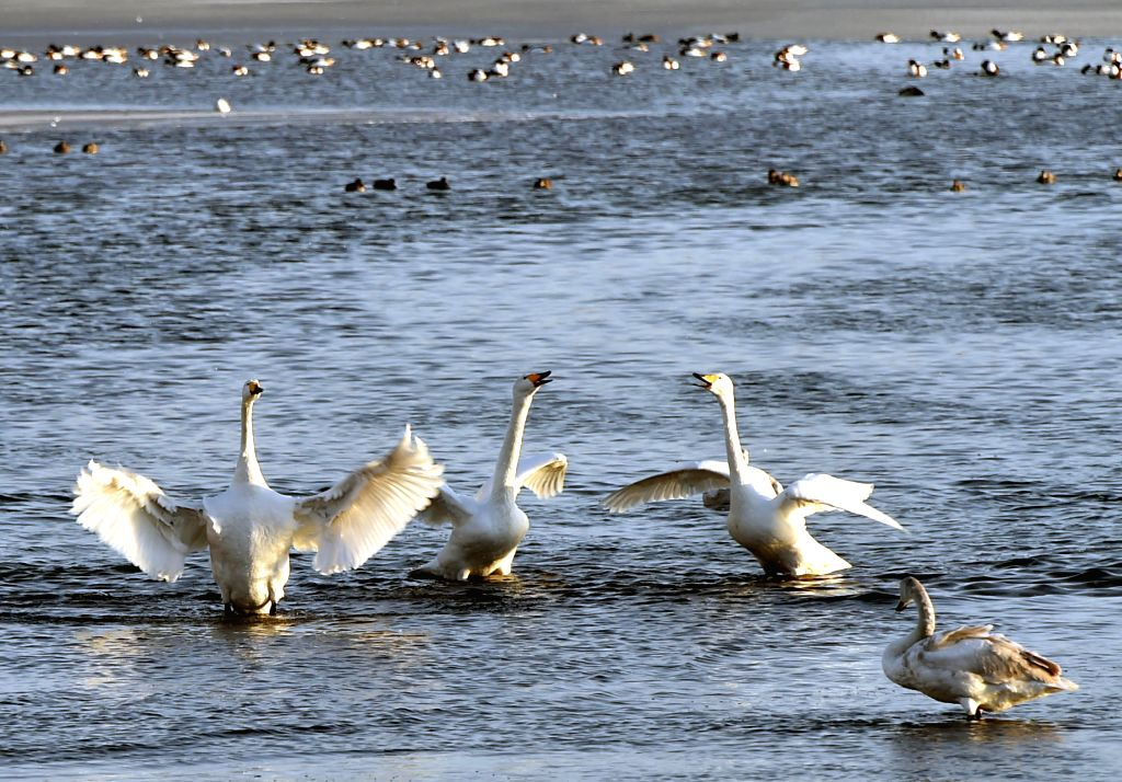 Swans gather to live through winter in Rongcheng, east China's Shandong Province, Jan. 19, 2016. More than 10,000 swans migrate to Rongcheng from Siberia from ...